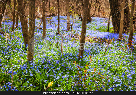 Spring meadow with blue flowers glory-of-the-snow stock photo, Forest floor with spring blue glory-of-the-snow flowers blooming in abundance. Ontario, Canada. by Elena Elisseeva