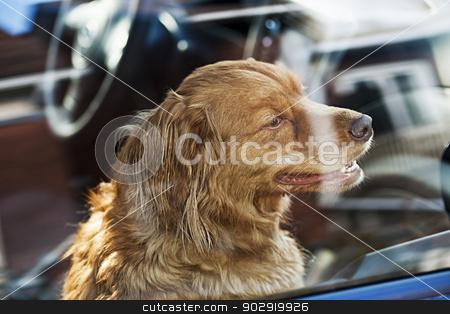 Dog locked in car stock photo, Portrait of australian shepherd dog locked in car by Elena Elisseeva
