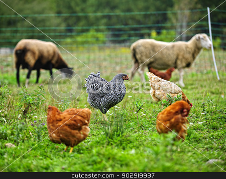 Chickens and sheep grazing on organic farm stock photo, Chickens and sheep freely grazing on a small scale sustainable farm by Elena Elisseeva