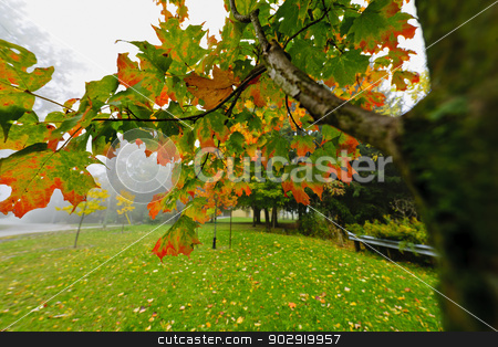 Fall maple tree in foggy park stock photo, Maple tree branch with changing leaves on foggy autumn day by Elena Elisseeva