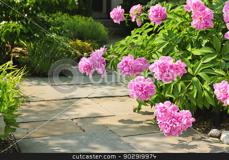 Garden with pink peonies stock photo, Summer garden with paved path and blooming pink peony flowers by Elena Elisseeva