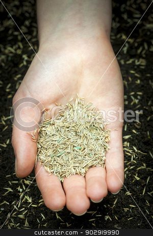 Hand holding grass seed stock photo, Grass seed held in hand over soil with planted seeds by Elena Elisseeva