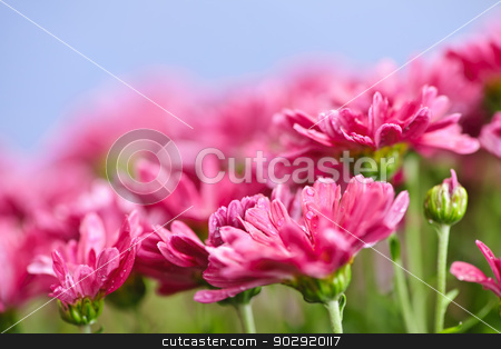 Pink mums stock photo, Closeup of pink mum flowers with raindrops by Elena Elisseeva
