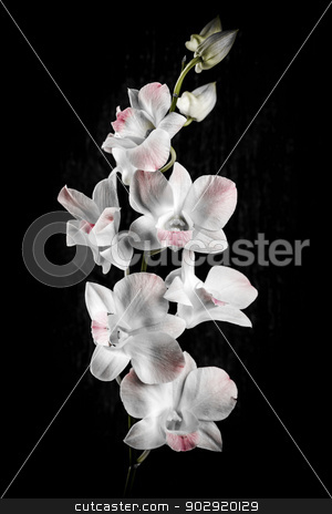 Orchid flowers on black stock photo, Pink and white orchid flowers on black background by Elena Elisseeva