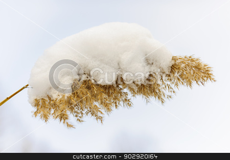 Winter reed under snow stock photo, Dry reed covered with snow in winter closeup by Elena Elisseeva