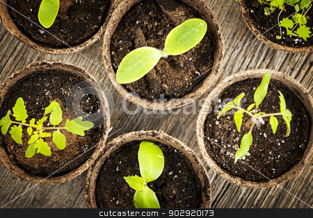 Seedlings growing in peat moss pots stock photo, Potted seedlings growing in biodegradable peat moss pots from above by Elena Elisseeva