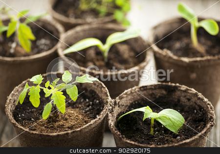 Seedlings growing in peat moss pots stock photo, Potted seedlings growing in biodegradable peat moss pots by Elena Elisseeva