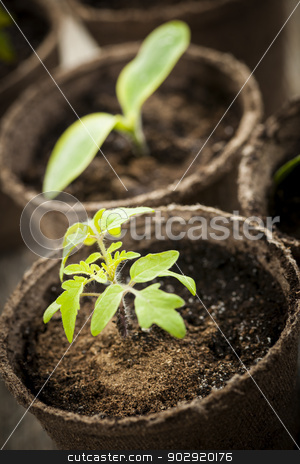 Seedlings growing in peat moss pots stock photo, Potted seedlings growing in biodegradable peat moss pots close up by Elena Elisseeva