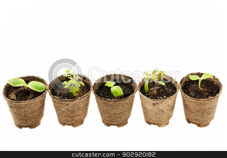 Seedlings growing in peat moss pots stock photo, Row of potted seedlings growing in biodegradable peat moss pots isolated on white background by Elena Elisseeva