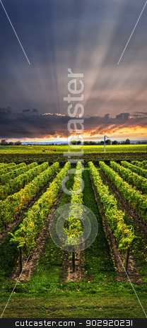 Vineyard at sunset stock photo, Vertical panorama of vineyard at sunset in Niagara peninsula, Ontario, Canada. by Elena Elisseeva