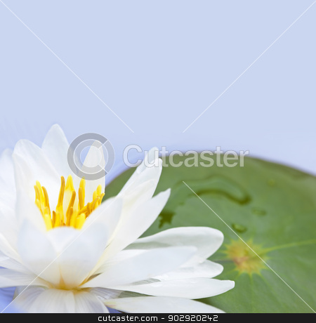Lotus flower stock photo, White lotus flower or water lily floating with copy space by Elena Elisseeva