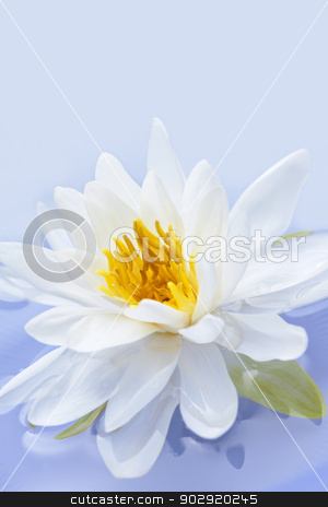 Lotus flower stock photo, White lotus flower or water lily floating by Elena Elisseeva