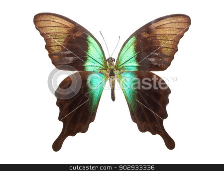 Butterfly Papilio Peranthus stock photo, Beautiful tropical butterfly Papilio Peranthus isolated on white background by Alexey Popov