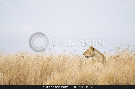 Lioness stock photo, Lioness in high grass, Maasai Mara National Reserve, Kenya, East Africa by mdphot