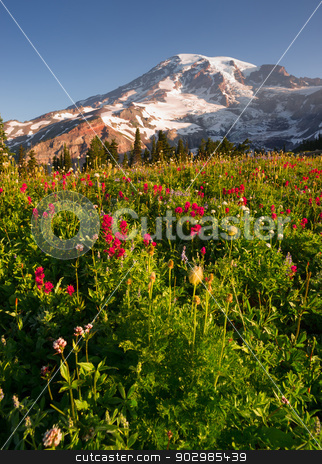 Cascade Range Rainier National Park Mountain Paradise Wildflowers stock photo, A dramatica and colorful view of Mt. Rainier with wildflowers in full bloom by Christopher Boswell