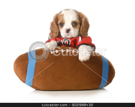sports hound stock photo, sports hound - adorable cavalier king charles spaniel sitting on stuffed football - 6 weeks old by John McAllister