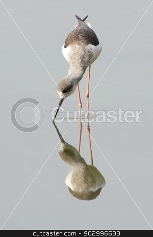 Wading bird reflection in water stock photo, Wading bird reflection in water by Nick Dale