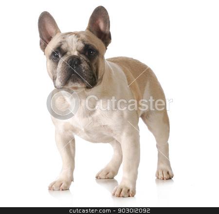french bulldog stock photo, french bulldog standing isolated on white background by John McAllister