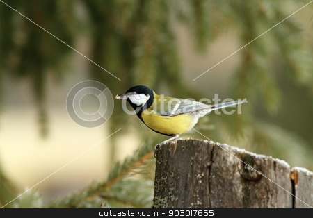 hungry great tit with seed in beak stock photo, hungry great tit ( parus major ) with seed in its beak by coroiu octavian