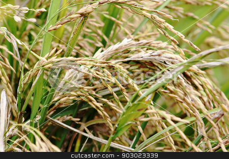 asmine rice in farm.  stock photo, asmine rice in farm.  by Keng po Leung