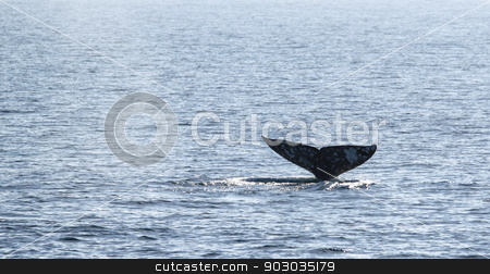 Gray Whale Tail stock photo, Gray whale watching in the Channel Islands near Ventura. by Henrik Lehnerer