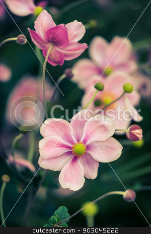 Anemone japonica stock photo, Japanese anemone blossoming in autumn by Natalia Macheda