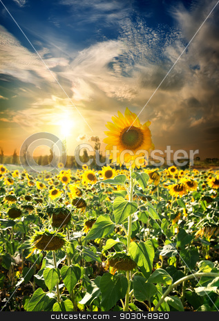 Sunset over sunflowers stock photo, Field of blossoming sunflowers and beautiful sunset by Givaga
