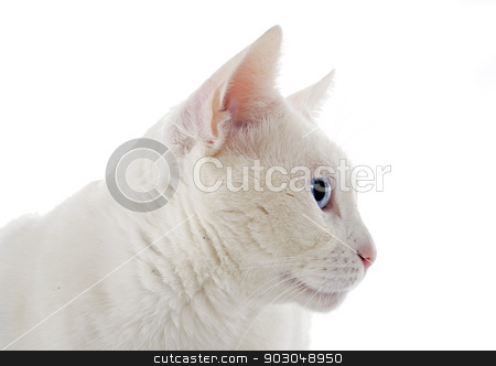 white cat stock photo, white cat in front of white background by Bonzami Emmanuelle