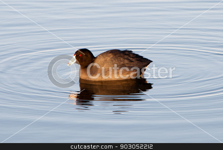 American Coot stock photo, An American coot swimming on a lake. by Joe Tabb