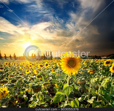Sun and sunflowers stock photo, Field of blossoming sunflowers at the sunset by Givaga
