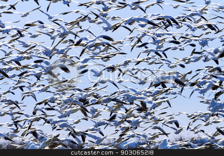 Lift Off Hunderds of Snow Geese Taking Off Flying stock photo, Hundreds of Snow Geese Taking Off Flying In Response to Threat by William Perry