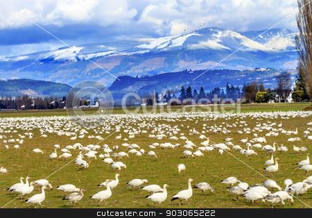 Snow Geese Mountains Skagit Valley Washington stock photo, Snow Geese Feeding Snow Mountains Skagit Valley Washington by William Perry