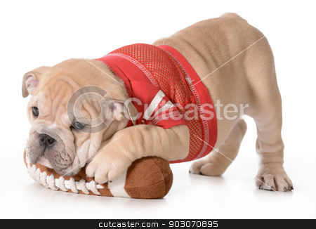 sports hound stock photo, sports hound - english bulldog puppy laying on stuffed football isolated on white background - 9 weeks old by John McAllister