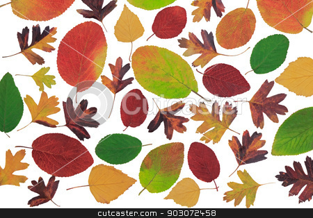 Autumn leaves with different trees on a white background. stock photo, Many beautiful bright autumn leaves variety of colors and shapes with different kinds of trees on a white background. by Georgina198