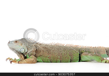 iguana stock photo, Young iguana in a white studio havingnice time by Frenk and Danielle Kaufmann