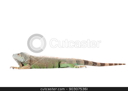 Isolated iguana stock photo, Young iguana in a white studio havingnice time by Frenk and Danielle Kaufmann