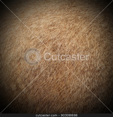 cougar fur stock photo, real cougar ( mountain lion, puma concolor  ) textured  fur, image taken on a hunting trophy by coroiu octavian