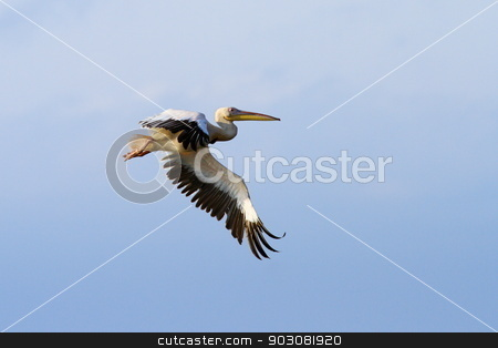 pelican with wings spread stock photo, great pelican ( pelecanus onocrotalus ) with wings spread over sky by coroiu octavian