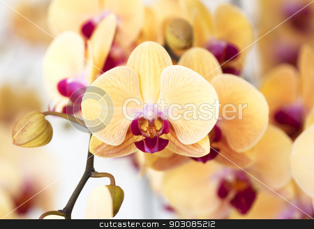 Beautiful yellow orchid stock photo, Beautiful yellow orchid flowers in the garden by janniwet