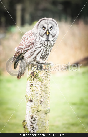 gray owl stock photo, gray owl perched on a wooden post by Steve Mann