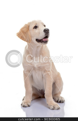 healthy golden labrador puppy stock photo, healthy golden labrador puppy or young pup by mandygodbehear