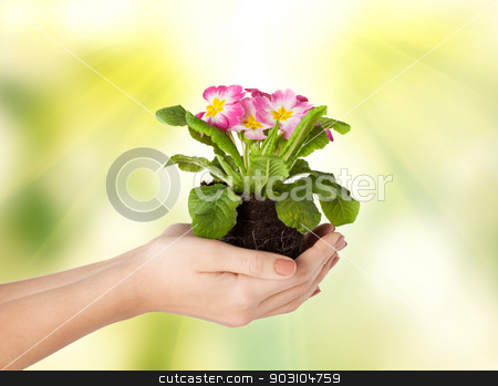 woman's hands holding flower in soil stock photo, close up of woman's hands holding flower in soil by Syda Productions