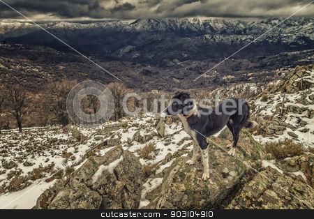 Border Collie dog standing on rocks with snow covered mountains  stock photo, A border collie dog is standing on a rocky outcrop with snow covered mountains in the distance by Jon Ingall