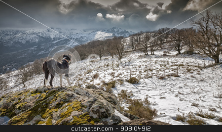 Border Collie dog looking out over snow covered mountains stock photo, A Border Collie dog standing on a rocky outcrop and looking out over snow covered moor with mountains in the distance by Jon Ingall