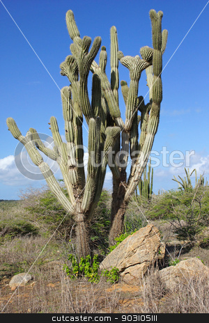 Vegetation of Aruba, ABC Islands stock photo, Typical vegetation of Aruba, ABC Islands, Caribbean by Alexander Ludwig