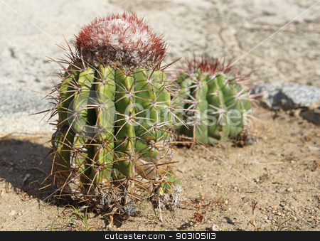 Cactus, Aruba, ABC Islands stock photo, Cactus, Aruba, ABC Islands by Alexander Ludwig