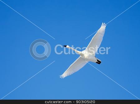 Tundra Swan in Flight stock photo, A Tundra Swan flies in a clear blue winter sky. by Delmas Lehman