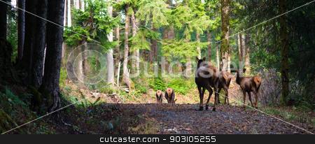 Animal Elk Herd Walking Away Oregon Woods Northwest Forest Wildlfe stock photo, An Elk Herd walks along wary of followers by Christopher Boswell