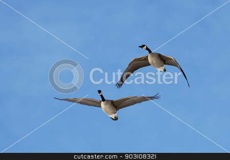 Canadian Geese in Flight stock photo, A pair of Canadian Geese flying in a blue sky. by Delmas Lehman