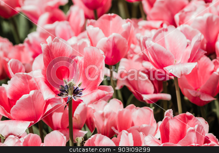 Red Tulips Background stock photo, Group of red tulips in the park. Spring landscape background by OZMedia